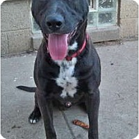 American Pit Bull Terrier/Labrador Retriever Mix Dog for adoption in Sterling Heights, Michigan - Lucky