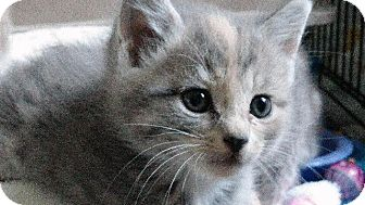 Domestic Mediumhair Kitten for adoption in Danielsville, Georgia - Mouse