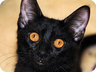 Domestic Shorthair Kitten for adoption in Monroe, Georgia - Amelia Earheart