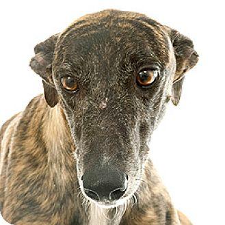 Greyhound Dog for adoption in Philadelphia, Pennsylvania - Apple