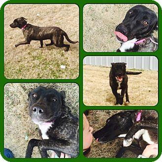 Labrador Retriever/Boxer Mix Dog for adoption in Chicago, Illinois - LUNA