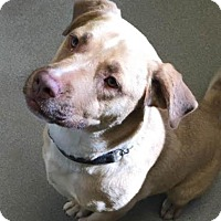 Labrador Retriever Mix Dog for adoption in Columbus, Georgia - Maximus 2791