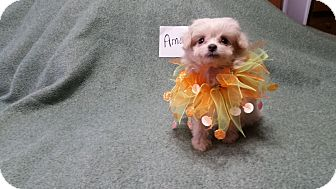 Maltese/Poodle (Toy or Tea Cup) Mix Puppy for adoption in Paris, Illinois - Amos