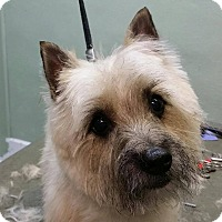 Adopt A Pet :: Ginger - Shawnee Mission, KS