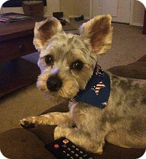 Schnauzer (Miniature)/Yorkie, Yorkshire Terrier Mix Dog for adoption in Dallas, Texas - Milo