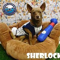 Adopt A Pet :: Sherlock - Arcadia, FL