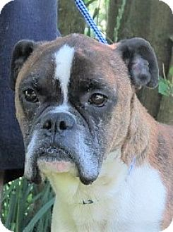 Boxer Mix Dog for adoption in Germantown, Maryland - Rambo
