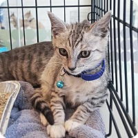 Domestic Shorthair Kitten for adoption in Culver City, California - Romulus