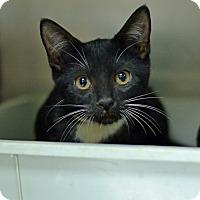 Domestic Shorthair Kitten for adoption in Brooksville, Florida - 10311535