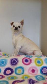 Chihuahua Mix Dog for adoption in La Grande, Oregon - Nikita