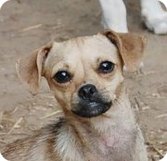 Chihuahua/Pug Mix Dog for adoption in Hagerstown, Maryland - Ellana B Lap baby