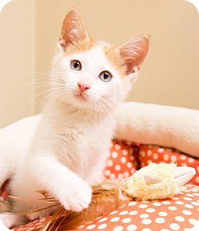 Turkish Van Kitten for adoption in Chicago, Illinois - Shayne