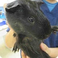 Adopt A Pet :: *Urgent* Sherry - Fullerton, CA