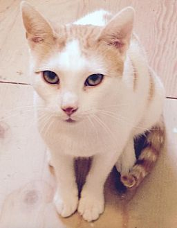 Domestic Shorthair Cat for adoption in Westwood, New Jersey - URGENT - Butterscotch