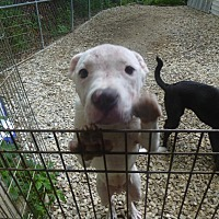 Adopt A Pet :: Adonis - Glastonbury, CT