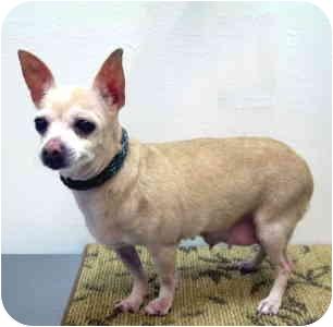 Chihuahua Dog for adoption in Port Washington, New York - Luna