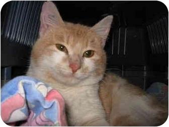 Domestic Mediumhair Cat for adoption in Blairmore, Alberta - Merv