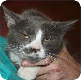 Domestic Mediumhair Cat for adoption in Tucson, Arizona - Dozer