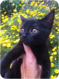 Domestic Shorthair Kitten for adoption in Studio City, California - Mini
