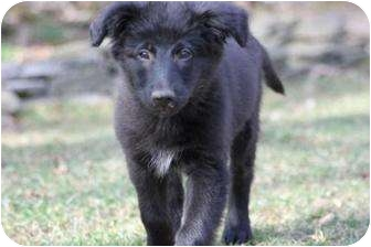 Collie/Shepherd (Unknown Type) Mix Puppy for adoption in South Plainfield, New Jersey - Kyle
