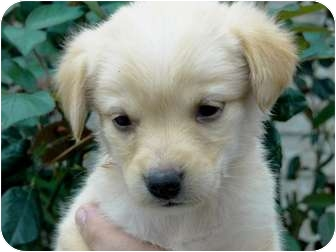 Great Pyrenees/Boxer Mix Puppy for adoption in Harper, Texas - Puppy#8