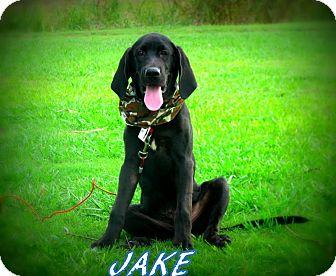 Labrador Retriever/Bloodhound Mix Puppy for adoption in Groton, Massachusetts - Jake