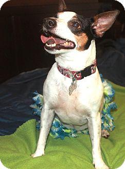 Rat Terrier Dog for adoption in Brooksville, Florida - BELLE
