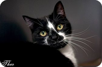 Domestic Shorthair Cat for adoption in Manahawkin, New Jersey - Theo