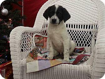 Beagle/Labrador Retriever Mix Puppy for adoption in Linton, Indiana - Jake