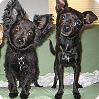 Adopt A Pet :: Morris - Goodyear, AZ