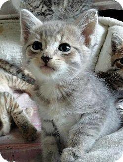 Domestic Shorthair Kitten for adoption in Danielsville, Georgia - Weasel