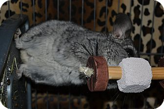 Chinchilla for adoption in Lindenhurst, New York - Scotty
