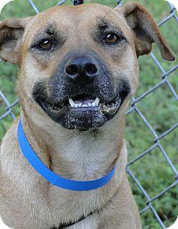 Black Mouth Cur Mix Dog for adoption in Brooksville, Florida - Savannah