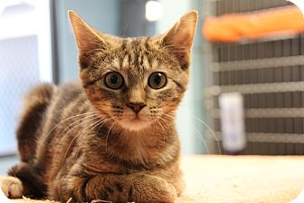 Domestic Shorthair Kitten for adoption in Forked River, New Jersey - Tawny