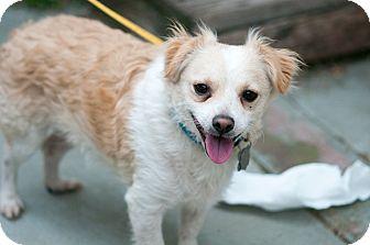 Corgi/Terrier (Unknown Type, Small) Mix Dog for adoption in Santa Monica, California - Ian
