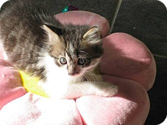 Domestic Mediumhair Kitten for adoption in Parkville, Missouri - Lennon