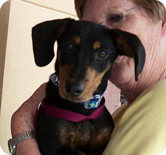 Dachshund Dog for adoption in Winder, Georgia - Ollie
