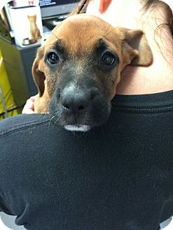 Boxer Mix Puppy for adoption in Cliffside Park, New Jersey - NELLY