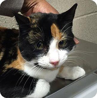 Domestic Shorthair Cat for adoption in Parma, Ohio - Ventia