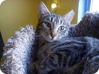 Domestic Shorthair Cat for adoption in Glendale, Arizona - Squirrely