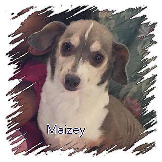 Chihuahua/Dachshund Mix Dog for adoption in Ravenna, Texas - Maizey