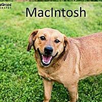 Labrador Retriever Mix Dog for adoption in Crandall, Georgia - MacIntosh