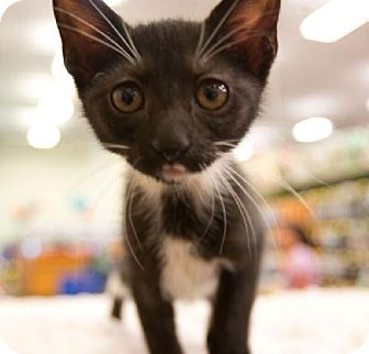 Domestic Shorthair Kitten for adoption in Tallahassee, Florida - Daisy