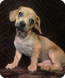 Dachshund/Chihuahua Mix Puppy for adoption in SOUTHINGTON, Connecticut - Tiny