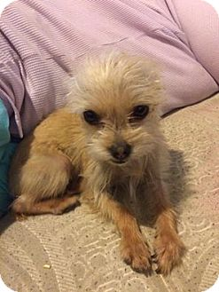 Terrier (Unknown Type, Small)/Yorkie, Yorkshire Terrier Mix Dog for adoption in Middletown, Ohio - Teenie Tiny