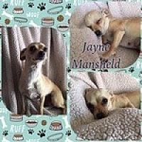 Chihuahua Mix Dog for adoption in Reno, Nevada - Jayne Mansfield