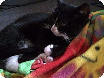 Domestic Shorthair Kitten for adoption in Richmond, Virginia - Fiona