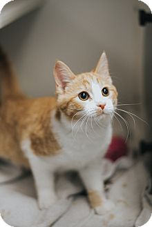 Domestic Shorthair Kitten for adoption in Indianapolis, Indiana - Fanta