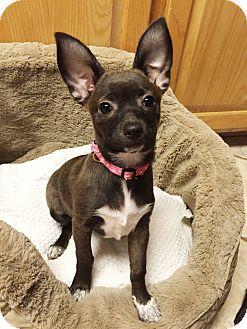 Chihuahua/Corgi Mix Puppy for adoption in New Braunfels, Texas - Bristol Babe