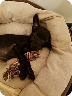 Chihuahua Mix Puppy for adoption in Fort Atkinson, Wisconsin - Neville